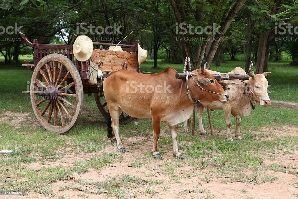 Bantengs pulling a cart stock photo