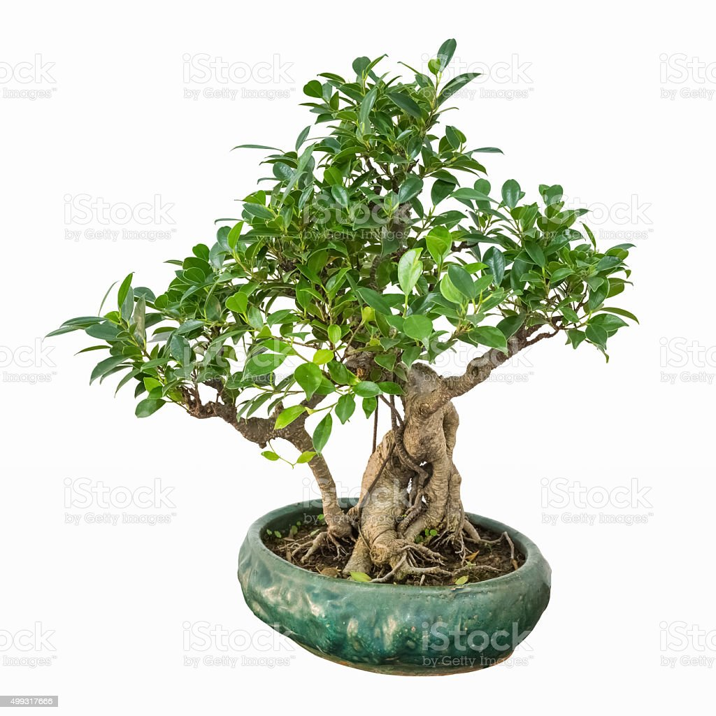 Banyan Bonsai Tree Stock Photo Download Image Now Istock