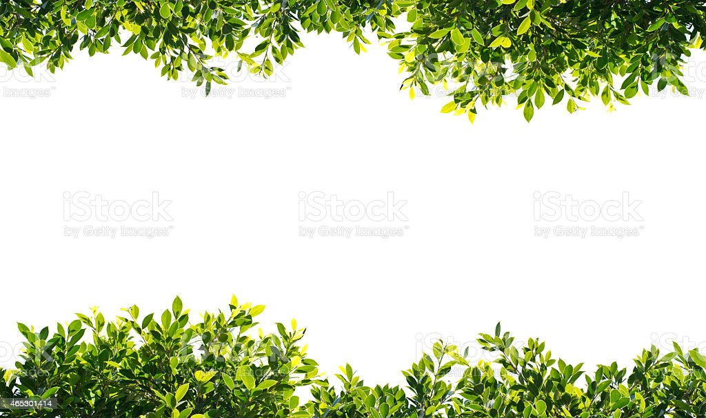 banyan green leaves isolated on white background stock photo