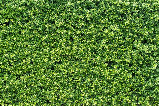 프리미엄 녹색 잎 벽 2015년에 대한 스톡 사진 및 기타 이미지