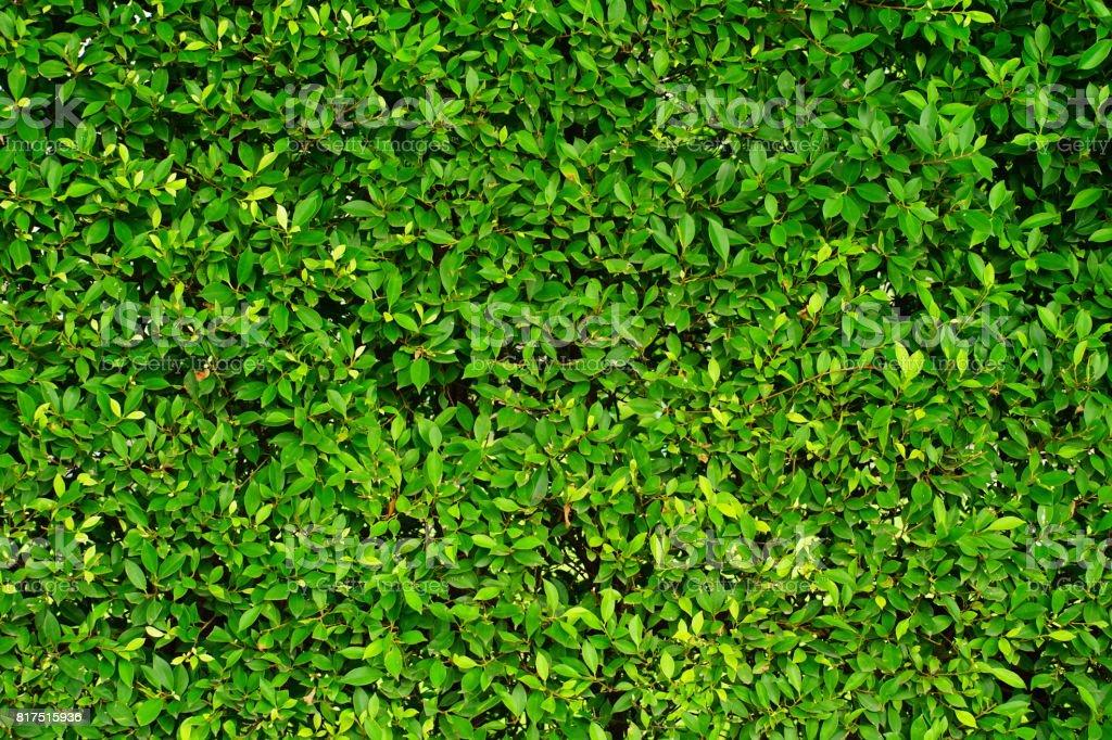 Pared verde hojas de Banyan - foto de stock