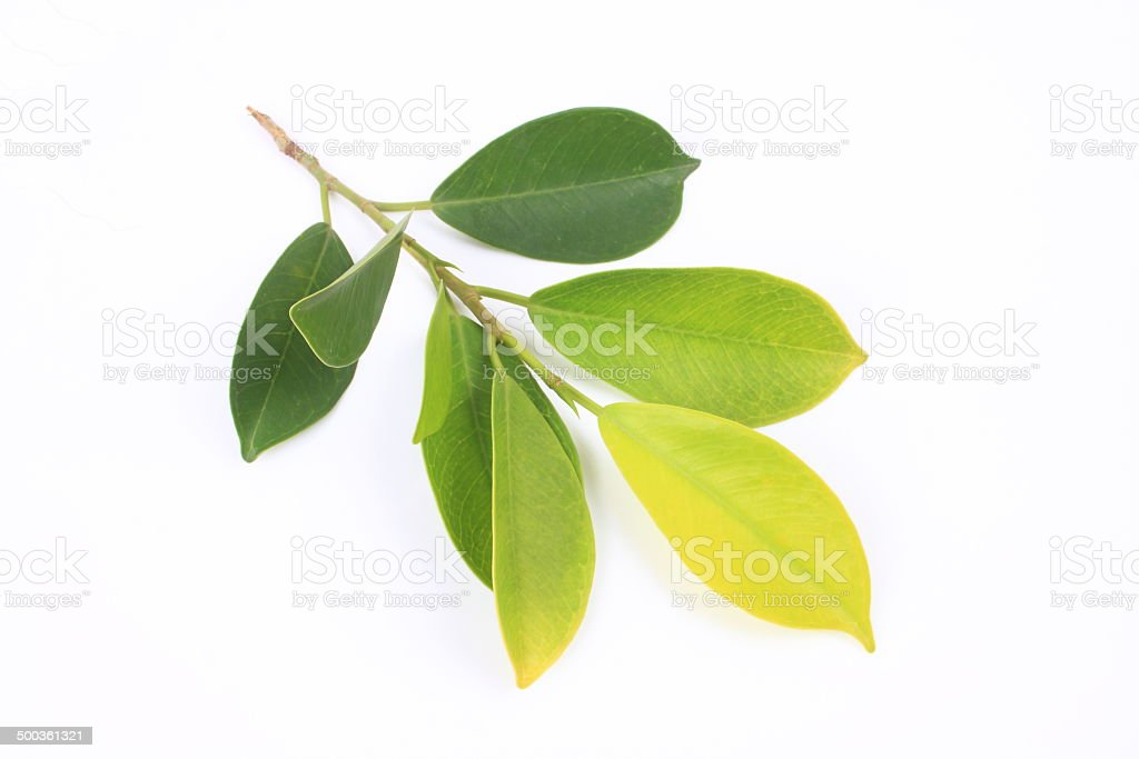 Banyan leaves stock photo