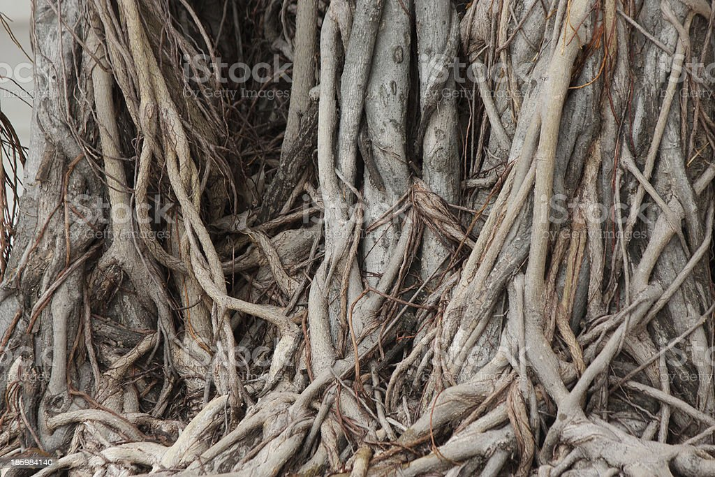 Banyan  root royalty-free stock photo