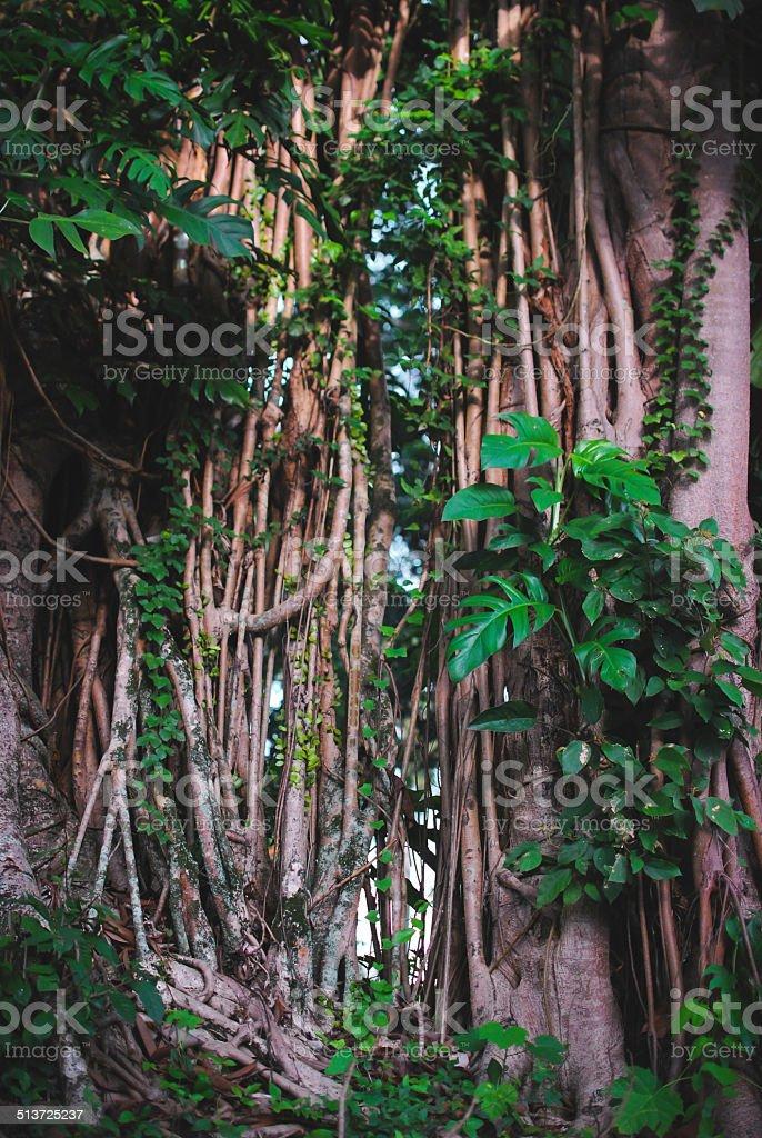 Banyan / strangler fig tree stock photo