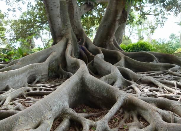 Banyan Tree 3 Banyan tree root stock pictures, royalty-free photos & images