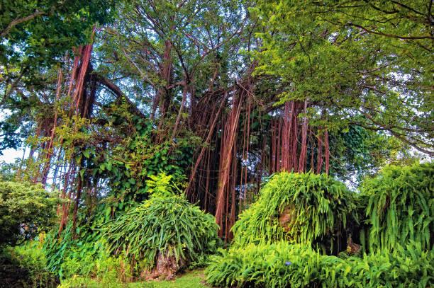 Banyan-Baum, Barbados – Foto