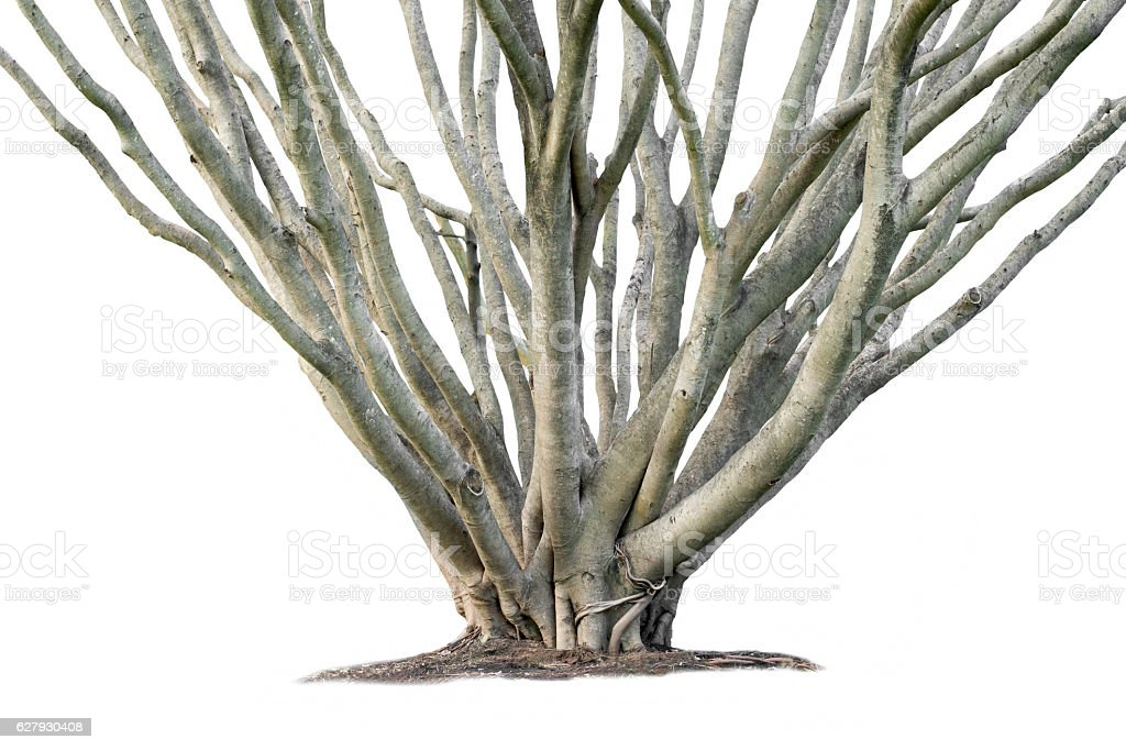 Banyan tree branch isolated stock photo