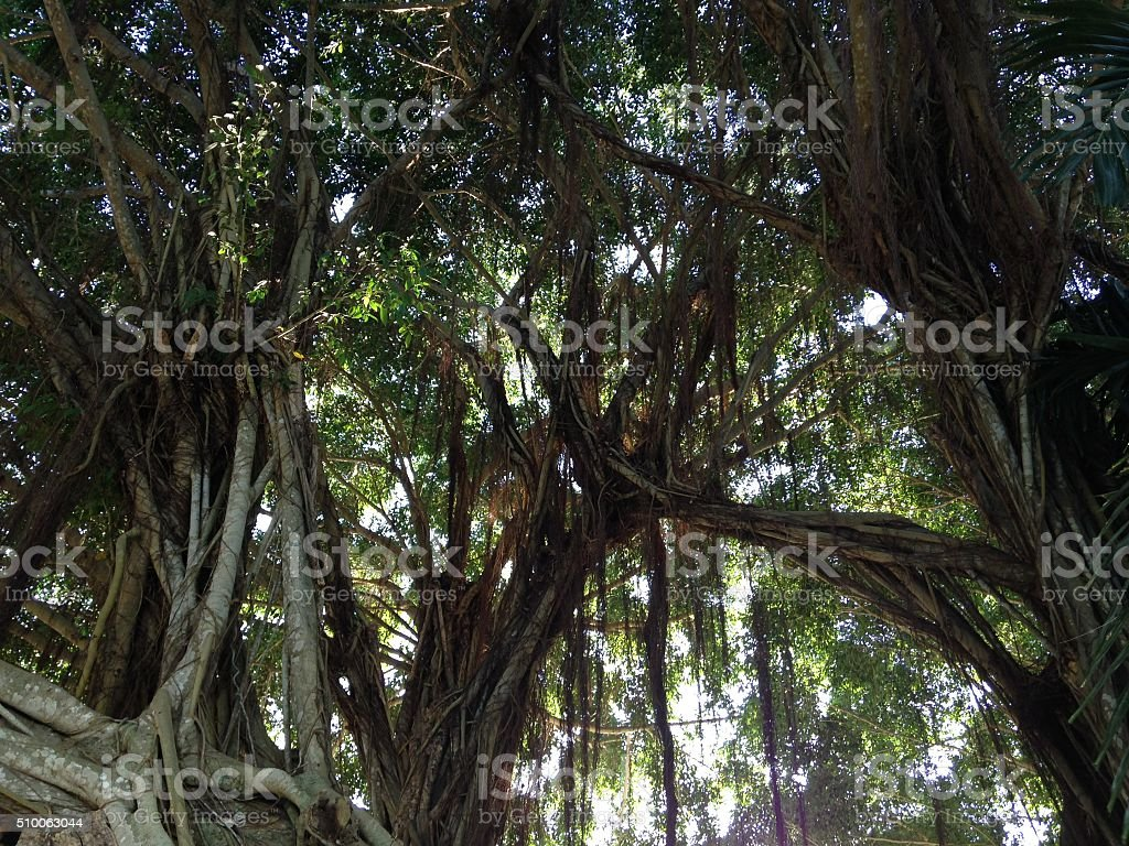 Banyan Tree Growing at Everglades National Park in Florida. stock photo