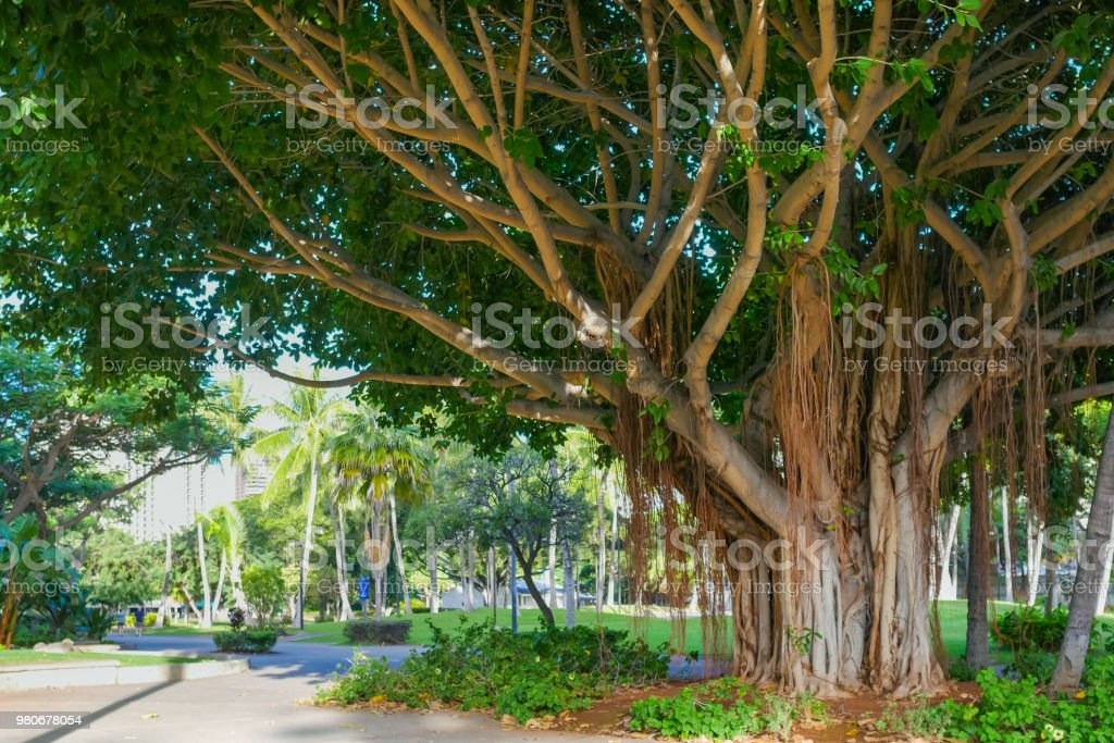 Banyan tree in Waikiki, Honolulu City, Oahu Island, Hawaii, USA. The Banyan tree features a long root roots from the broadly spread side branches stock photo