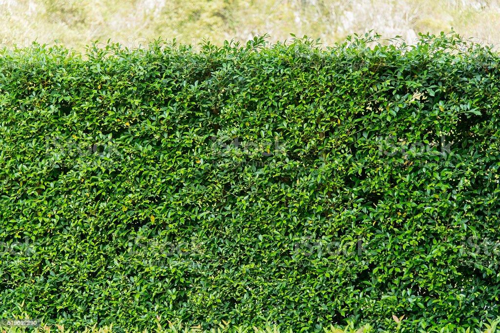 banyan tree leaf texture background stock photo