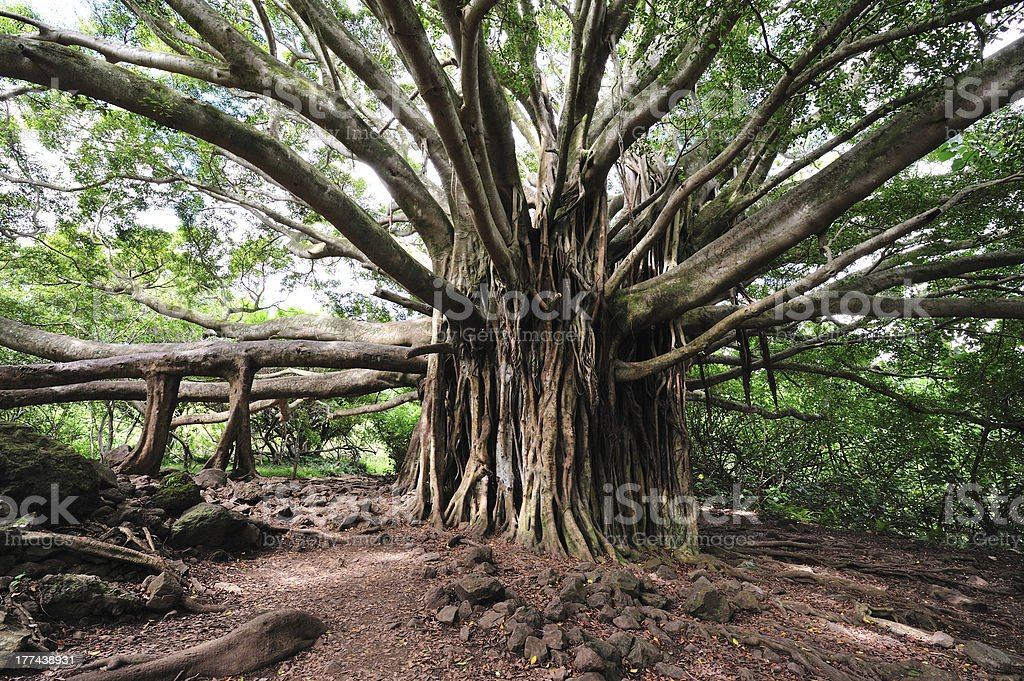 Banyan Tree Maui, Hawaii stock photo