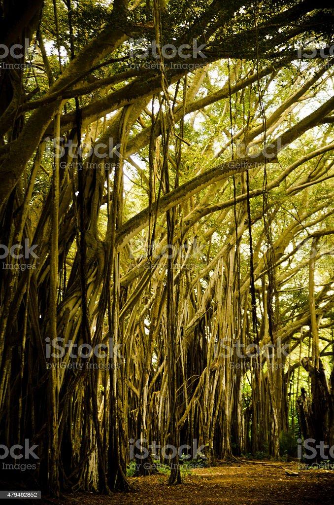 Baniano de Kawela a la bahía - foto de stock