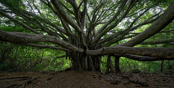 Best Banyan Tree Stock Photos, Pictures & Royalty-Free Images - iStock