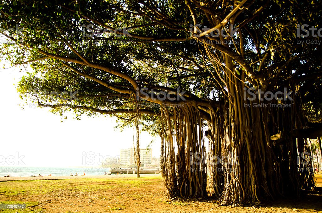 Banyan tree ストックフォト