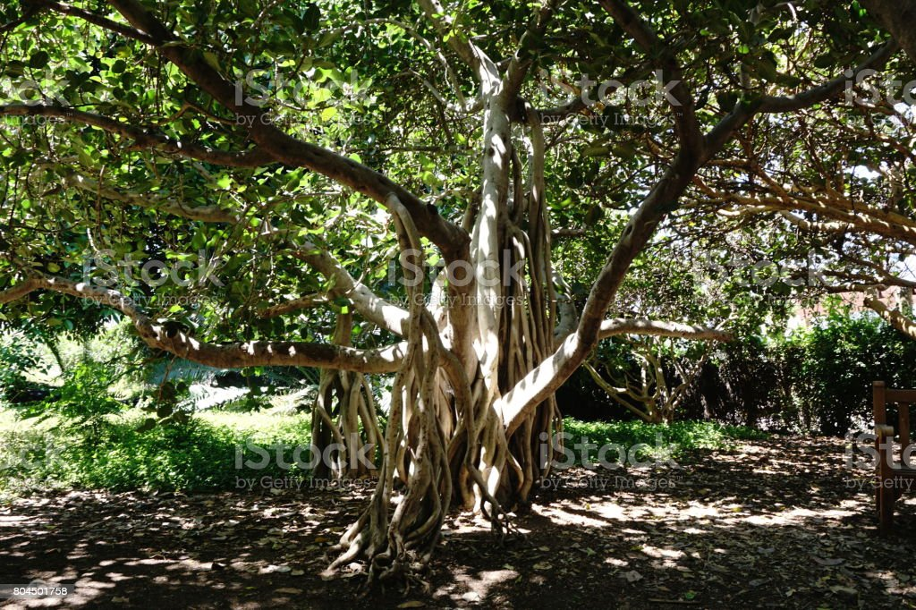 Banyan Tree. stock photo