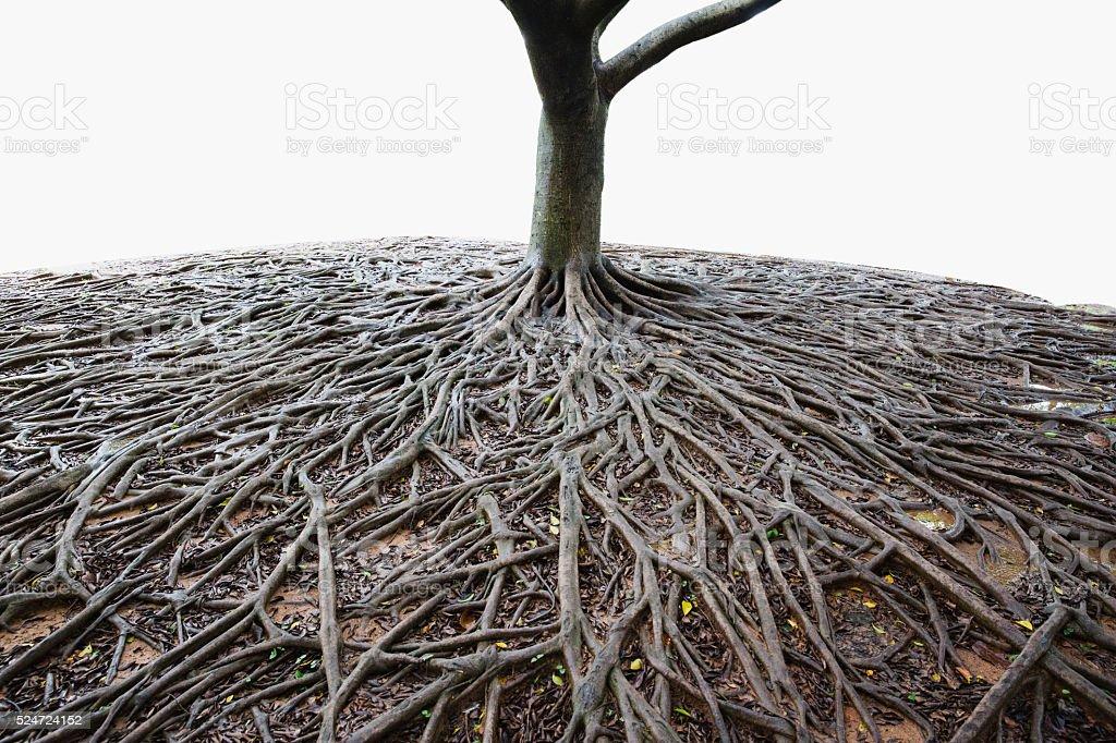 banyan tree root stock photo