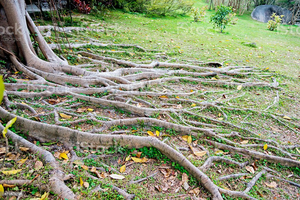 Roots of banyan tree in a chinese park.