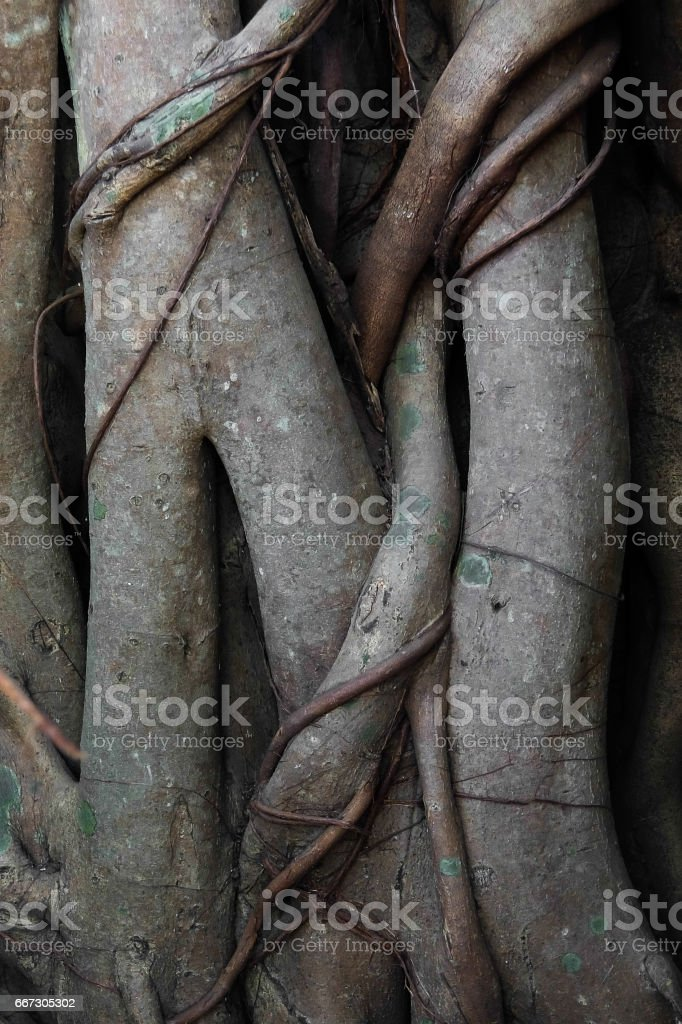 Banyan tree roots stock photo