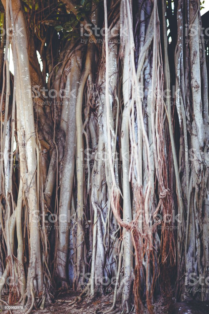 banyan tree roots on mauritius island in africa.