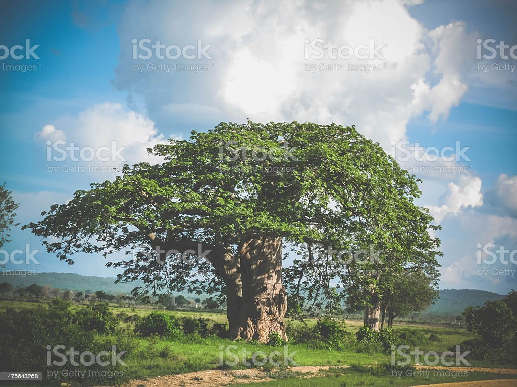 Banyan Tree with blue sky, a gorgeous african landscape stock photo