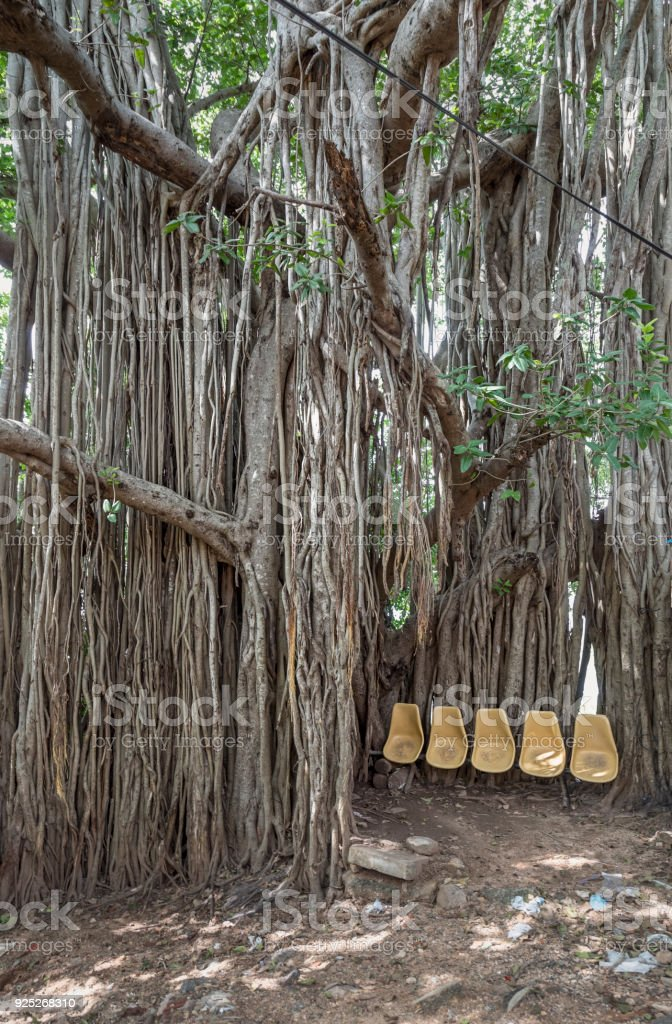 Banyan Tree With Chairs   Stock Image .