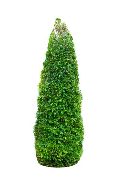 반얀 트리, ficus annulata 관상 식물 - 관상용 식물 뉴스 사진 이미지