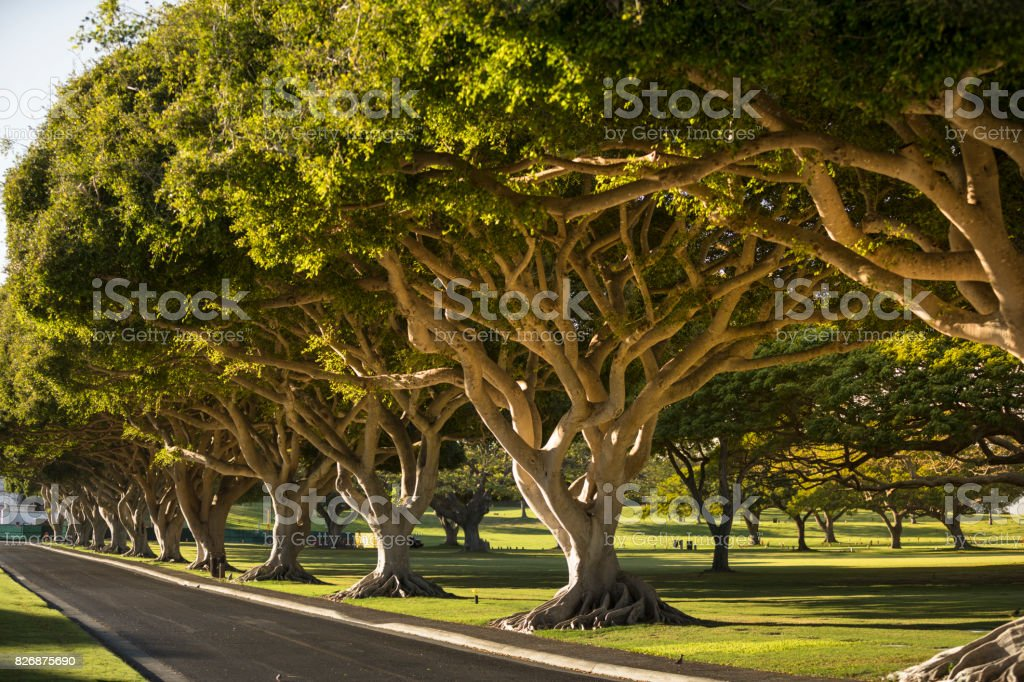 Banyan trees along a road in Hawaii USA stock photo
