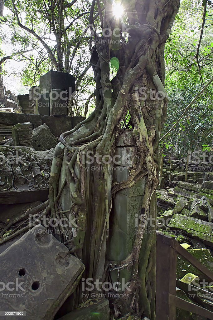 Banyan trees  in Beng Mealea temple, Cambodia stock photo