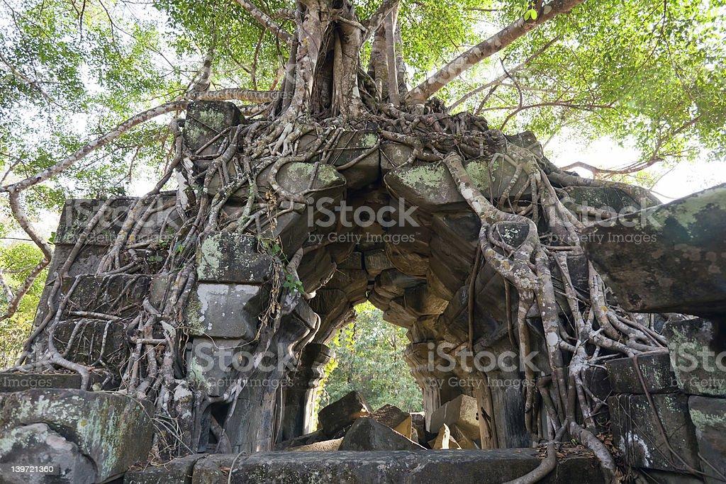 Banyan trees on ruins royalty-free stock photo