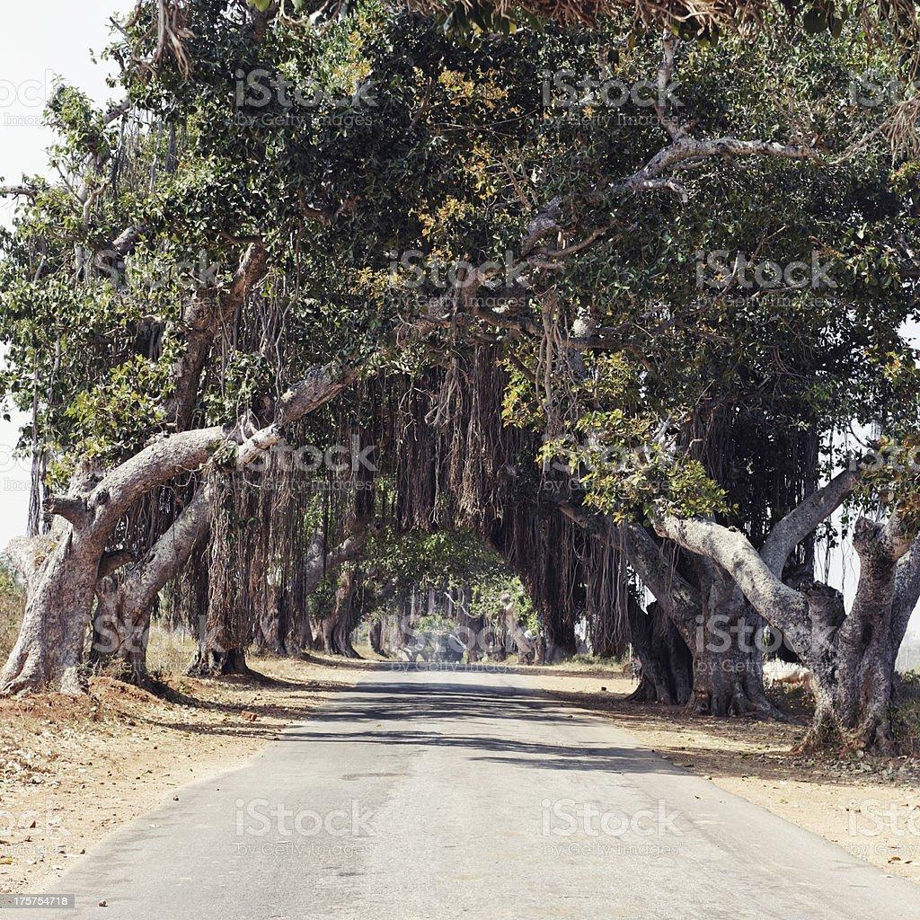 Banyan trees royalty-free stock photo