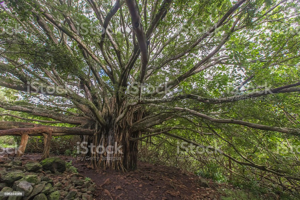 Banyon Tree in Hawaii royalty-free stock photo
