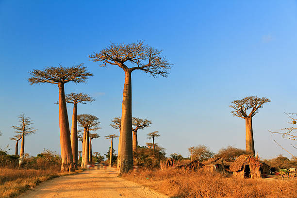 Baobab alley afternoon stock photo