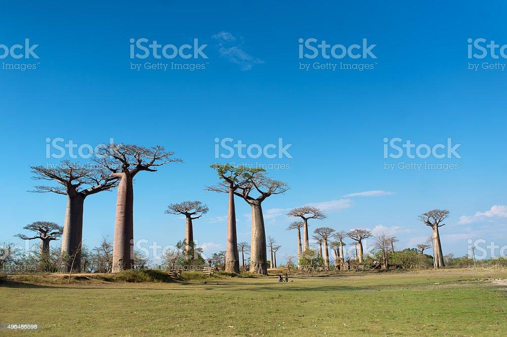 Baobab Alley - Madagascar bildbanksfoto