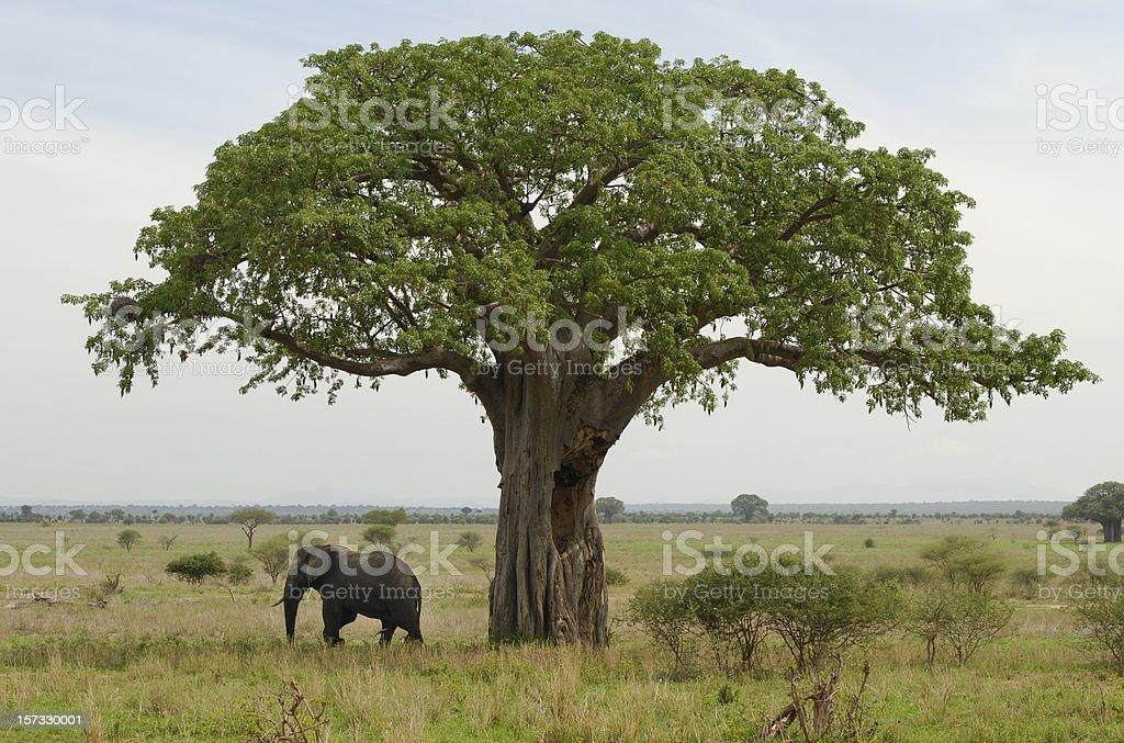 baobab y elefant - foto de stock