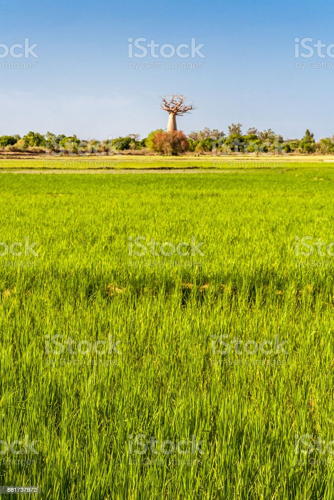 Baobab and paddy field stock photo