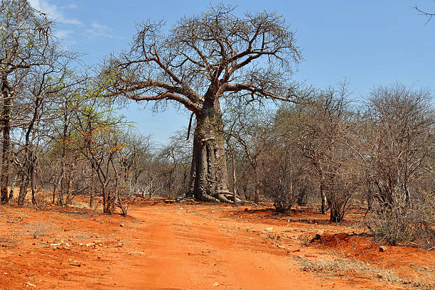 baobab and red soil in Africa stock photo