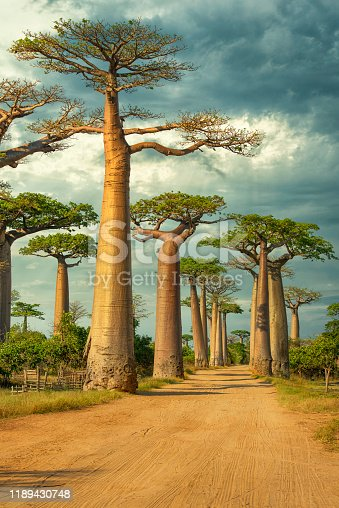Row of Baobab trees (Adansonia) in Madagascar. Location: Avenue de Baobab, Western Madagascar.