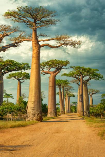 Baobab Avenue, Madagascar stock photo