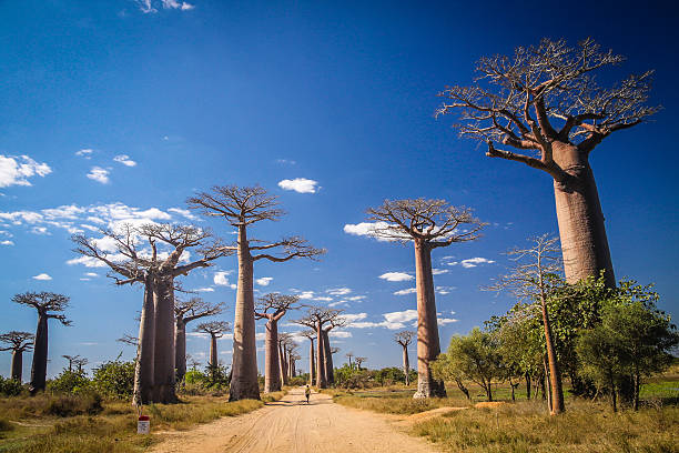 Avenida de Baobab stock photo