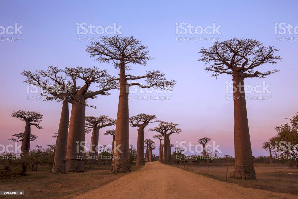 Baobab Avenue bildbanksfoto