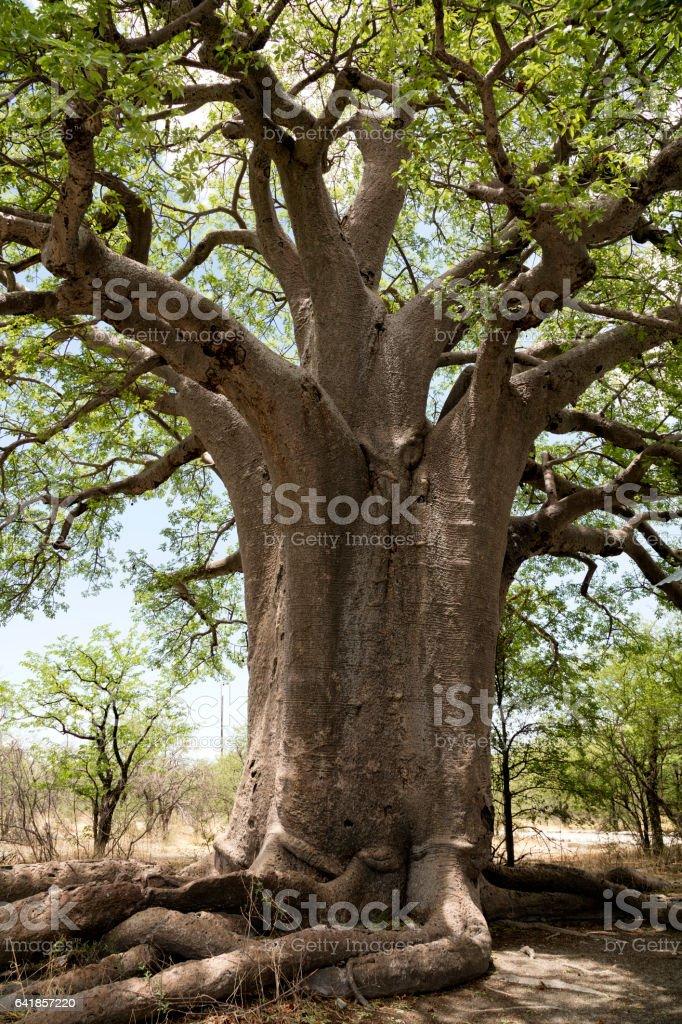 Baobab, Botswana, Afrika bildbanksfoto