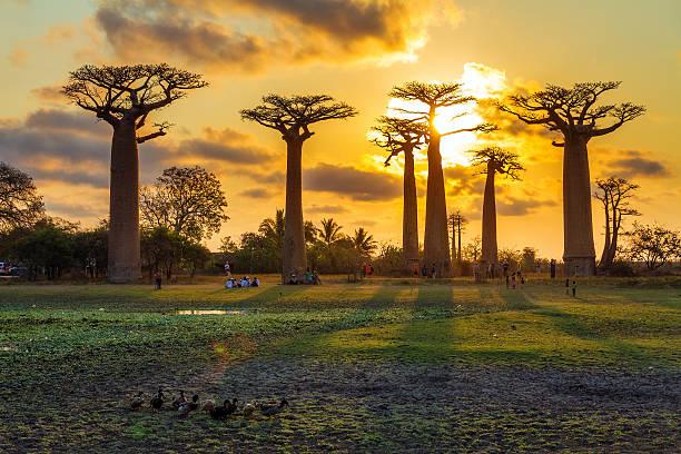 Baobab ducks stock photo