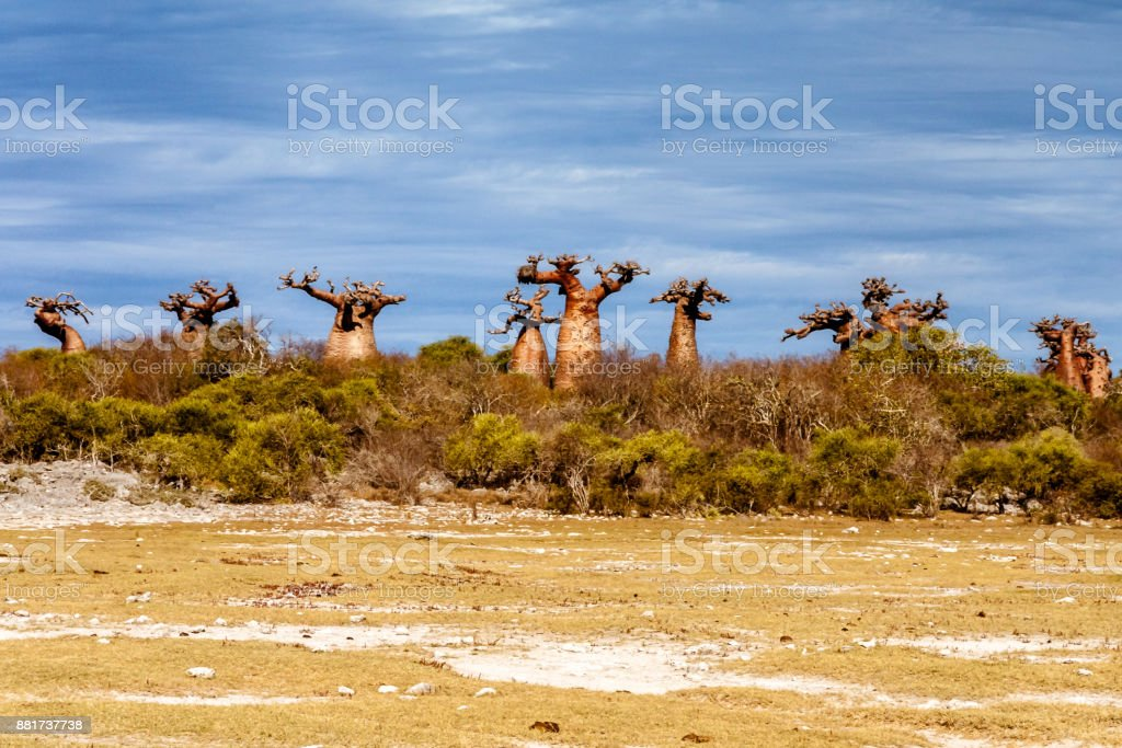 Baobab forest stock photo