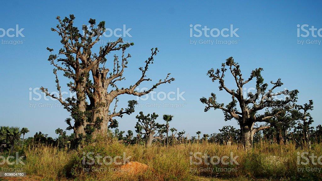 Baobab forest, Senegal bildbanksfoto
