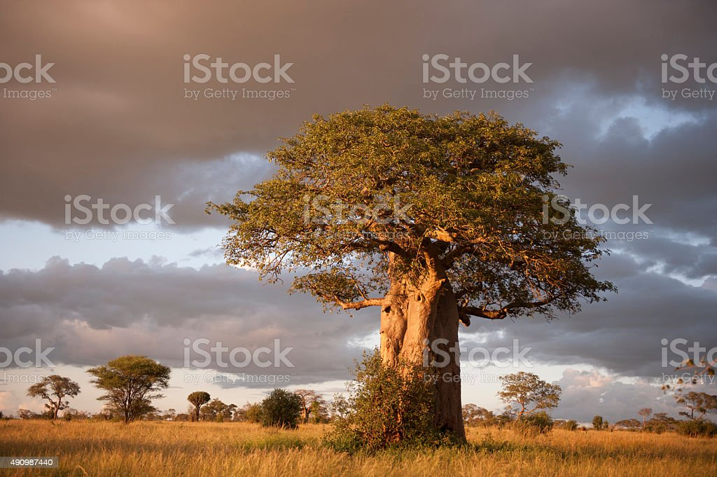 Baobab bildbanksfoto