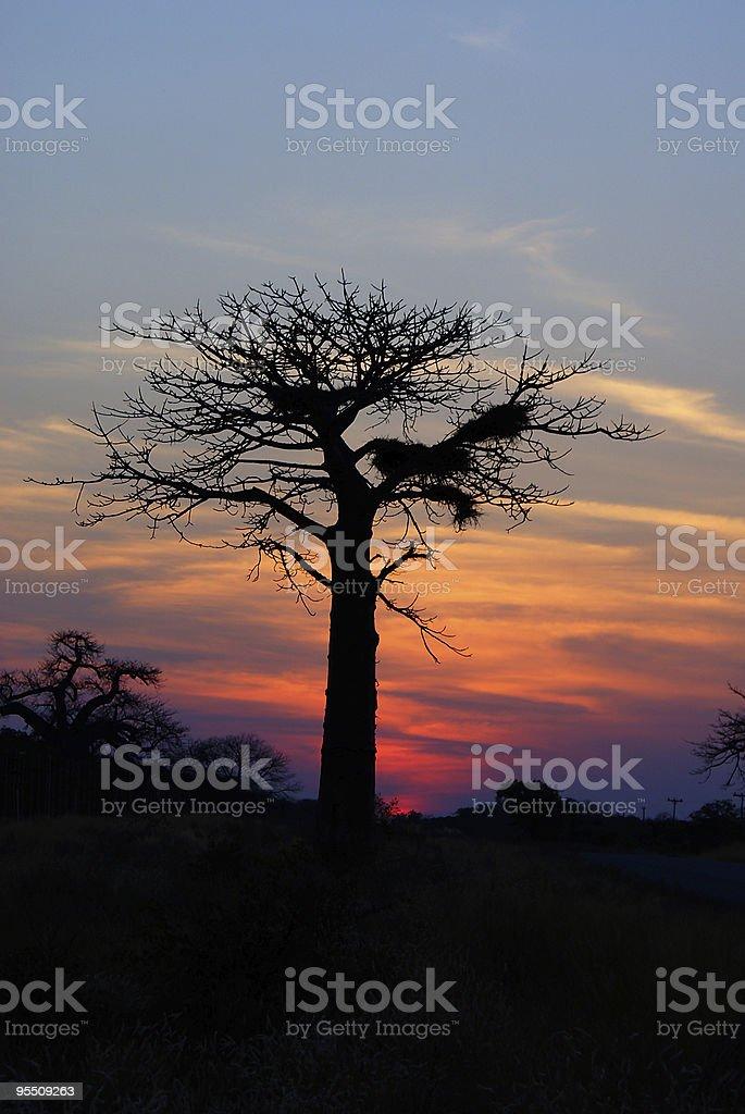Baobab royalty-free stock photo