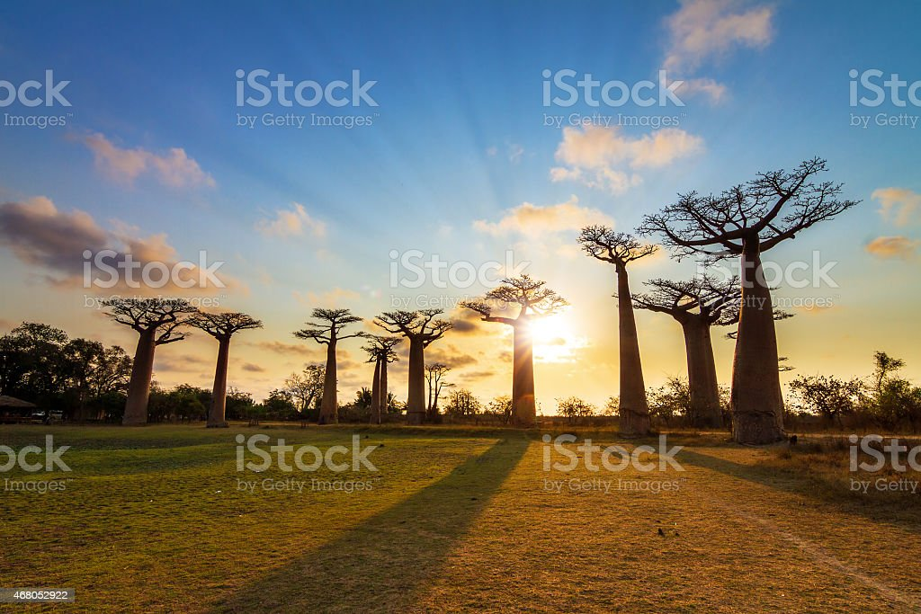 Baobab sunburst bildbanksfoto