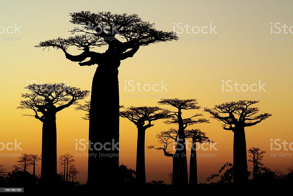 baobab sunset silhouette stock photo