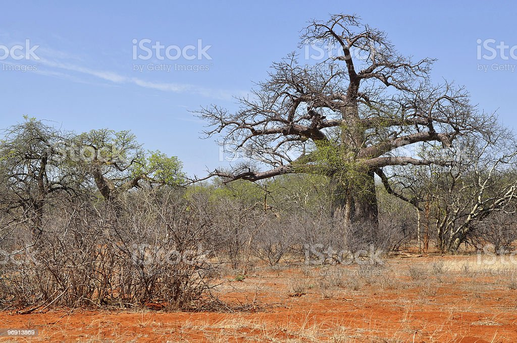 baobab tree and brick colored soil royalty-free stock photo