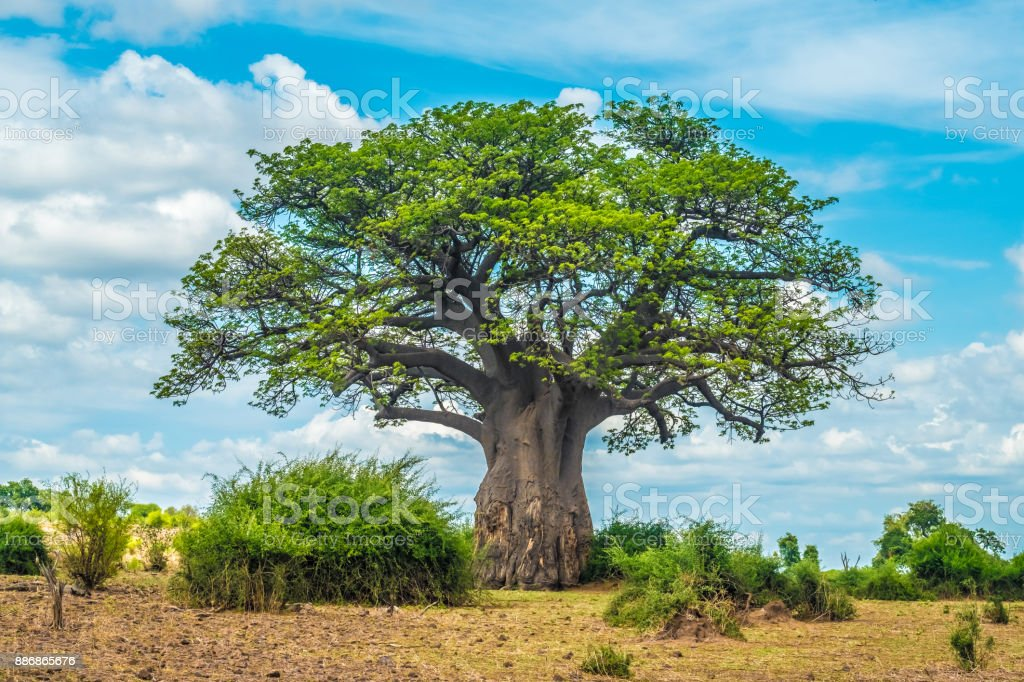 Árbol de Baobab, Parque Nacional de Chobe, Botswana - foto de stock
